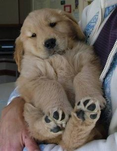 Maybe because they're so cuddly... | 28 Pictures Of Golden Retriever Puppies That Will Brighten Your Day #puppypictures