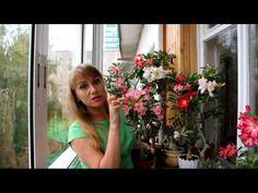 Адениумы цветут очень красиво и довольно долго. Самый выгодный способ завести адениум дома -- вырастить его из семян. Семена не дорогие и легко всходят, а ма...
