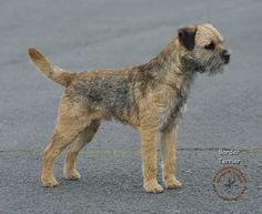 Border Terrier is a small, rough-coated breed of dog of the terrier group. Originally bred as fox and vermin hunters, the border terrier was bred to have long enough legs to keep up with the horses and other foxhounds, which traveled with them, and small enough bodies to crawl in the burrows of foxes and chase them out so the hunters had a blank shot. The foxhounds that traveled with them were not small enough to do the Border terrier's job