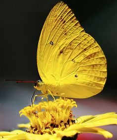 beauty of the yellow butterfly intensified by the yellow poland flower