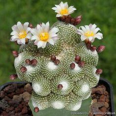 Blossfeldia cyathiformis