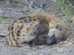 Eh — idubegamereserve: , on drive, now. Animals And Pets, Baby Animals, Cute Animals, Beautiful Creatures, Animals Beautiful, Brown Hyena, Striped Hyena, Maned Wolf, Sleeping Animals