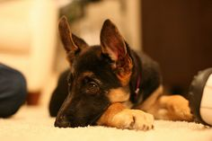 German Shepherd Puppies for sale in any US state