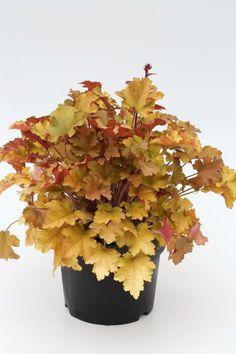 Alunrot, orange Höjd 25 cm Orange   Plantagen