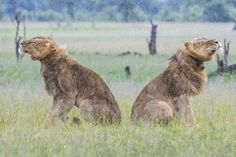 Frizzy manes: Lion Update from Ngamo Zimbabwe, Lions, Wilderness, Camel, Safari, Wildlife, African, Pictures, Animals
