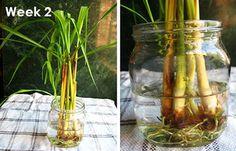 Chi tiết cách trồng cây sả: vừa làm cảnh, vừa đuổi muỗi 3