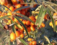 Sea Buckthorn on Breast Cancer Yoga. Breast massage improves the immune system by moving lymph fluids through lymph nodes under the arms. Breast massage also familiarizes the woman with the natural texture of her breasts, making breast self-exam easier a Lymph Massage, Massage Oil, Natural Texture, Natural Skin, Lymph Fluid, Omega Oils, Coffee Soap, Herbal Oil, Science And Nature
