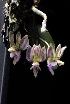 a miniature sized, warm to hot growing epiphyte Kingidium minus | Flickr - Photo Sharing!