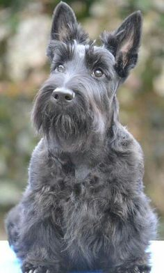 Tara~What a gorgeous coat! Is she a brindle Scottie, or just turning gray?