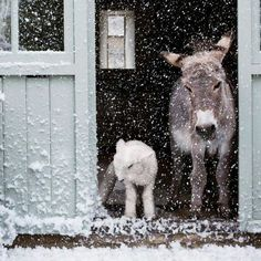 A couple of snowy donks.