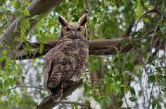 Image result for bubo virginianus