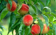 If you should be growing peach trees, you realize they need a great deal of sunshine. In reality, they flourish within an area where they are able to take in the sunshine through the whole-day. Peach trees' treatment isn't too difficult. They don't demand much publicity and muss. Keep reading for more information about peachtree care.