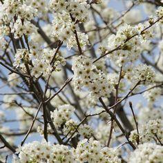 Pyrus Nivalis Tree