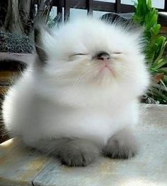 Cute Kittens For Sale In Dallas provided Cute Animals Black And White Pretty Cats, Beautiful Cats, Animals Beautiful, Cute Baby Animals, Animals And Pets, Funny Animals, Animals Planet, Cute Kittens, Ragdoll Kittens