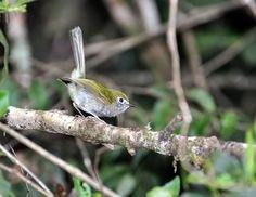 Foto estalinho (Phylloscartes difficilis) por Elisa Torricelli | Wiki Aves - A Enciclopédia das Aves do Brasil