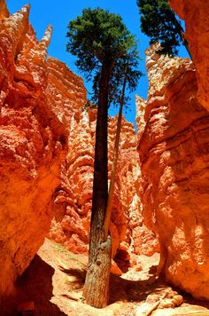 Douglas Fir on Wall Street, Amphitheater at Bryce Canyon, Utah Bryce Canyon National Park, Utah Arches Nationalpark, Yellowstone Nationalpark, Bryce Canyon, Canyon Utah, Beautiful Places To Visit, Beautiful World, Places To See, Foto Picture, Parcs