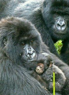 Mountain Gorilla family: mom cradles the infant Primates, Mammals, Animals And Pets, Baby Animals, Cute Animals, Strange Animals, Beautiful Creatures, Animals Beautiful, Baby Gorillas