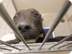 Joplin, MO - Labrador Retriever Mix. Meet Tessan 101126, a puppy for adoption. http://www.adoptapet.com/pet/11753852-joplin-missouri-labrador-retriever-mix