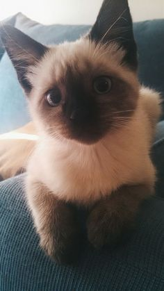 Siamese Kittens, Cute Cats And Kittens, Baby Cats, Kittens Cutest, Persian Kittens, Funny Kittens, Bengal Cats, White Kittens, Pretty Cats