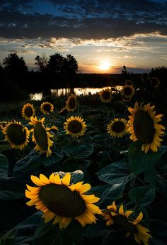 Sunflowers at night - Pixdaus. (I like to think they're sleeping)