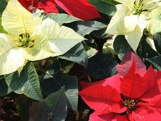 Poinsettias are popular holiday decorations. Here's how to keep them in bloom…