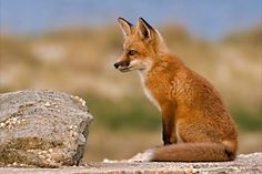 Red Fox Cub by Ray Yeager - National Geographic Your Shot