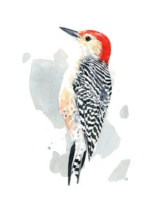 Red-bellied Woodpecker Watercolor Painting, 8x10 Print