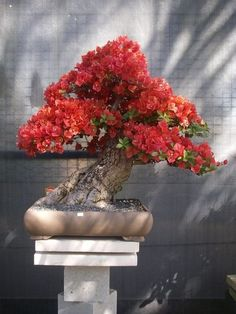 Growing bonsai from their seeds is essentially growing a tree from its seed. Get tips and guidelines on how to grow your first bonsai from its seed phase. Flowering Bonsai Tree, Bougainvillea Bonsai, Bonsai Tree Care, Bonsai Plants, Bonsai Garden, Bonsai Trees, Cactus Plants, Japanese Bonsai Tree, Air Plants