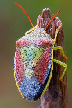 Piezodorus Litoratus by Davide Rodilosso: The Gorse Shield Beetle sports two adult colorings related to sexual maturity, green, for those mating in the spring and multicolor for those which appear in the late summer.