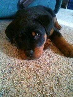 """Find out even more details on """"Rottweiler puppies"""". Check out our web site. Rescue Puppies, Rottweiler Puppies, Cute Puppies, Cute Dogs, Puppy Care, Pet Puppy, Pet Care, Husky Puppy, Thor"""