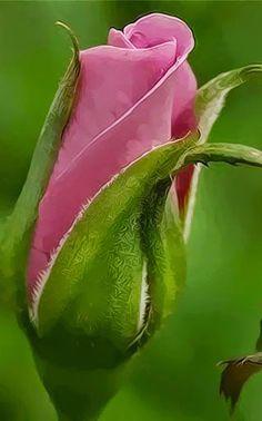 Rosebud                                                                                                                                                                                 More