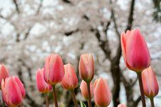 小室山公園テニスコートのチーリップと桜