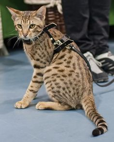 Ocicat Breed Profile #ocicat #cats #catbreeds (Article from www.MetaphoricalPlatypus.com; Ocicat Photo by Heikki Siltala, catza.net)