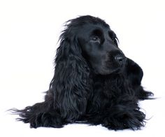 Cocker Spaniel Dog Trainng & Related General Care Help