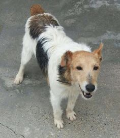 Bobby will be arriving in the UK shortly and we are needing a foster family for him. Please see http://www.terriersos.com/volunteer/ for further information about fostering On his passport it says 'Valiente' because he is one of the Brave Ones. Left by his owner at a Kill Station in Spain with his pal Bryton. Bobby is about 10, he is dog friendly, people friendly and he is desperate for a loving home in his retirement.