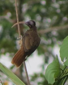 Pale-billed Sicklebill (Drepanornis bruijnii) videos, photos and sound…