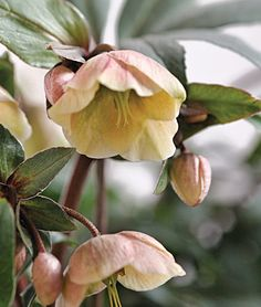 "absolutely love these hellebore ""winter bells"""