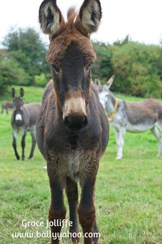 Stories from Ballyyahoo. Daisy the donkey-woman has a magic arm. This is to protect her donkeys from the scourge. Click now to learn about the scourge. The Donkey, Donkeys, Stories For Kids, Ireland, Cow, Daisy, Witch, Arms, Horses