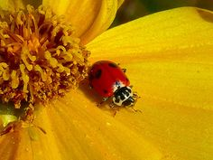 Love These Lady-Bugs... By Chrissie Jamieson http://www.flickr.com/photos/chrissie2003/143043107/