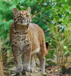 A magestic pose for a beautiful cat: Golden Cat!