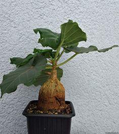 Ficus, Succulents, Flowers, Fig, Succulent Plants, Figs, Royal Icing Flowers, Flower, Florals