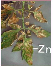This leaf shows an advanced case of interveinal necrosis. In the early stages of zinc deficiency the younger leaves become yellow and pitting develops in the interveinal upper surfaces of the mature leaves. As the deficiency progresses these symptoms develop into an intense interveinal necrosis but the main veins remain green, as in the symptoms of recovering iron deficiency. Tomato crop guide: Nutrients deficiency symptoms