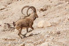 October 9, 2014 Walk Through The Bible, Daily Walk, Kangaroo, Goats, October, David, Animals, Baby Bjorn, Animales