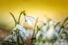 Woordloze Woensdag Macro Voorjaar Sneeuwklokje Lente