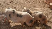 How to Potty Train a Pig | eHow