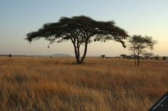 Tanzania Landscape   tanzania serengeti nature grassland savannah landscape scattered trees ...