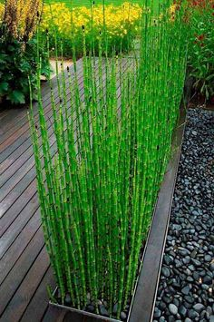 Add Privacy to Your Garden or Yard with Plants - Plant horsetail grass in modern planters