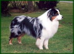 Mikayla wants an Australian Shepherd to run with.