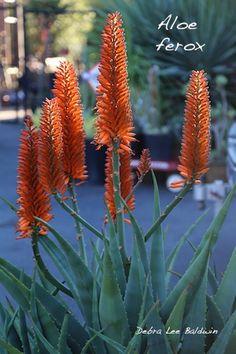 Aloe ferox by Debra Lee Baldwin