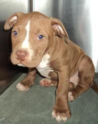 Pit bull boxer mix puppy. Precious